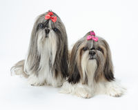 Two Shih Tzu dogs. Two pampered female Shih Tzu dogs against white background Royalty Free Stock Photography