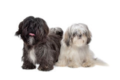 Two Shih tzu dogs Royalty Free Stock Images