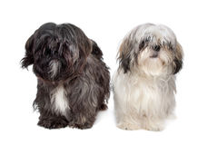 Two Shih tzu dogs Stock Photography