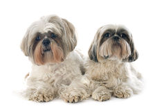 Two Shih Tzu Royalty Free Stock Photo