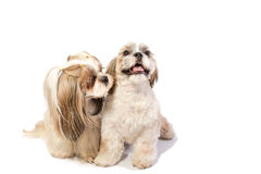 Two shih-tzu mom's care about her fun puppy Royalty Free Stock Photo