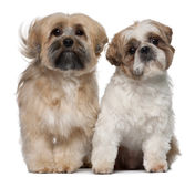 Two Shih Tzu's, 2 years old, sitting Stock Photos
