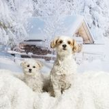 Two Shih Tzu`s sitting on white rug against winter landscape. Two Shih Tzu`s sitting on white rug, winter landscape Royalty Free Stock Photography