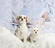 Two Shih Tzu`s sitting on white rug against winter scene. Two Shih Tzu`s sitting on white rug, winter scene Stock Photography