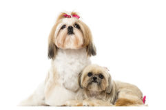 Two Shih Tzu sitting and lying next to each other, isolated Stock Image