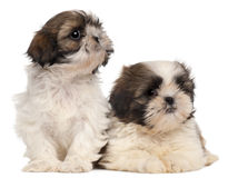 Two Shih-tzus Stock Photos