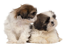 Two Shih-tzus in front of white background Stock Photo