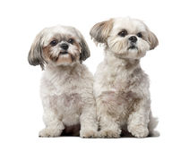 Two Shih Tzus in front of a white background Stock Image