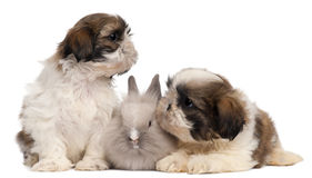 Two Shih-tzus playing with rabbit Royalty Free Stock Photos