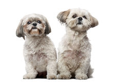 Two Shih Tzus sitting Royalty Free Stock Photography