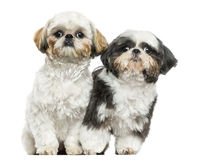 Two Shih Tzus sitting next to each other, looking at the camera Royalty Free Stock Photo