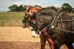 Two shire horses. Pulling plough in traditional manner Stock Photo