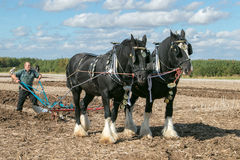 Two shire horses ploughing at show. Shire plough horses ploughing at show or ploughing match Royalty Free Stock Images