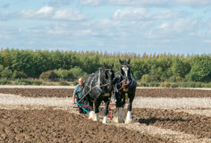 Two shire horses ploughing at show Stock Image