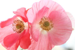 Two Shirley poppies Stock Image