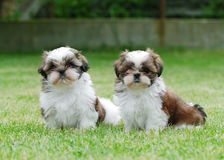Two shitzu puppies Royalty Free Stock Images