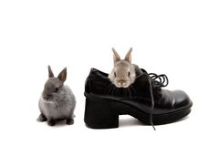 Two and a Shoe. Two Netherland dwarf bunnies and a shoe on white background Stock Photos
