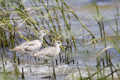 Two Shore Birds. Pair of Sandpiper birds standing in water Royalty Free Stock Photo