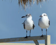 Two shorebirds on a railing. Two shorebirds sitting on a railing at a Florida beach Stock Image