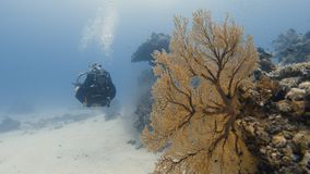 A two shot of a sea plant and a scuba diver. An underwater two shot of a scuba diver coming through and a sea plant growing out of a coral reef stock video footage