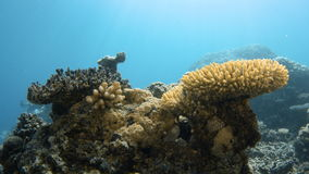 A wide shot of two different coral reefs. A two shot of two different coral reefs. One is covered with moss and the other one is yellowish stock video