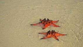 Two a shot in video. A large number of red stars on the phu quoc island beach. Blue water on the beach of the island. Two a shot in video. On this video you can stock video footage