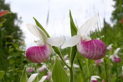 Two Showy Lady's Slipper Blossoms. A close-up of two showy lady's slipper blossom growing on one stem among many others in a swampy ditch along a county road in Royalty Free Stock Image