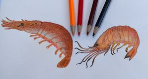 Grilled Shrimp drawing on the drawing book and colored pencils.Homework of student in color pencils classroom. Two Shrimps drawing on the drawing book and Stock Images