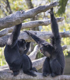 Two Siamangs in Conversation Royalty Free Stock Images