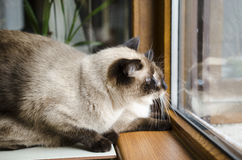 Two Siamese cats Stock Photography