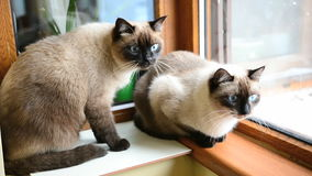 Two Siamese cats stock footage
