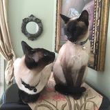 Two Siamese cats Royalty Free Stock Photo