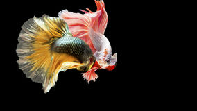Two Siamese fighting fish in action, closed-up with black background, DUAL ISO technique. Red betta f. Two Siamese fighting fish are looking to each other, photo Stock Photography