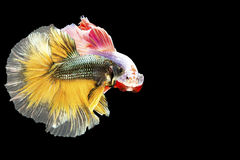 Two Siamese fighting fish in action, closed-up with black background, DUAL ISO technique. Red betta f. Two Siamese fighting fish are looking to each other, photo Royalty Free Stock Photo