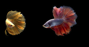 Two Siamese fighting fish in action, closed-up with black background, DUAL ISO technique. Red betta f. Two Siamese fighting fish are looking to each other, photo Stock Images