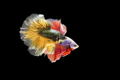 Two Siamese fighting fish in action, closed-up with black background, DUAL ISO technique. Red betta f. Two Siamese fighting fish are swimming in parallel, photo Stock Photography