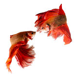 Two siamese fighting fish  Royalty Free Stock Image
