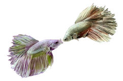 Two siamese fighting fish  Royalty Free Stock Photos