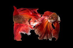 Two siamese fighting fish. Two siamese fighting fish confronting each other isolated on black Stock Images