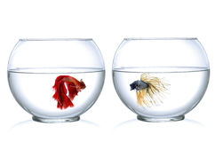 Two Siamese fighting fish in fish bowl , in front of white background