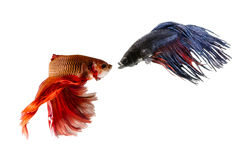 Two Siamese Fighting Fishes isolated on white background Stock Images