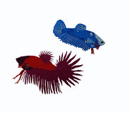 Two siamese fish males. Two males of siamese fighting fish Stock Photography