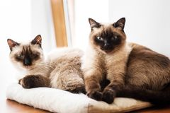 Two siamese like cats resting on a pillow. Brother and sister siamese cats resting on a pillow in the sun royalty free stock photos