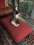 Two Siamese sister cats sitting on ottoman Royalty Free Stock Photo