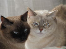 Two siaseme cats. Two siamese cat-sister staying together Royalty Free Stock Photos