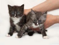 Two siberian fluffy tabby kitten standing  on gray Royalty Free Stock Photo