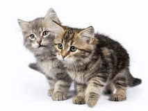 Two Siberian Forest cat / kittens sitting isolated on white background Royalty Free Stock Photo