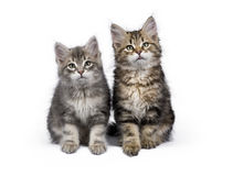 Two Siberian Forest cat / kittens sitting isolated on white background Stock Photo