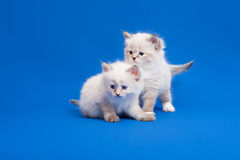 Two Siberian forest kittens Stock Photo