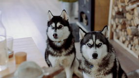 Two Siberian Haskies at home kitchen stock video